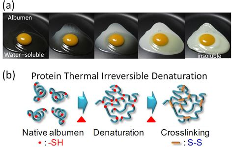 a protein can become denatured when protein biochemaholic