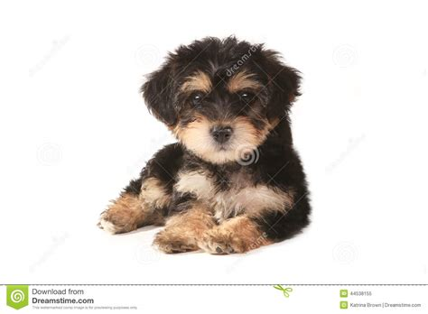 white mini yorkie tiny miniature teacup yorkie puppy on white background stock photo image 44538155