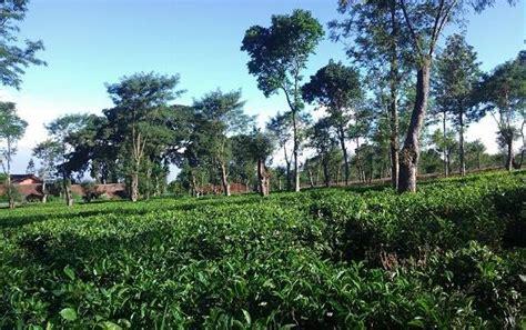 agrowisata kebun teh wonosari lawang jawa timur
