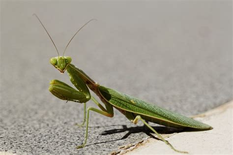 interesting    praying mantises eat  read
