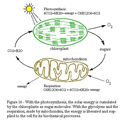 photosynthesis and respiration diagram elinow bioreview2 cellular respiration