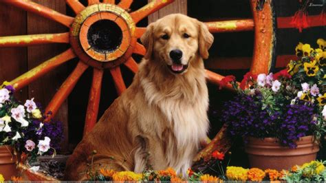golden retriever background golden labrador the golden retriever and labrador