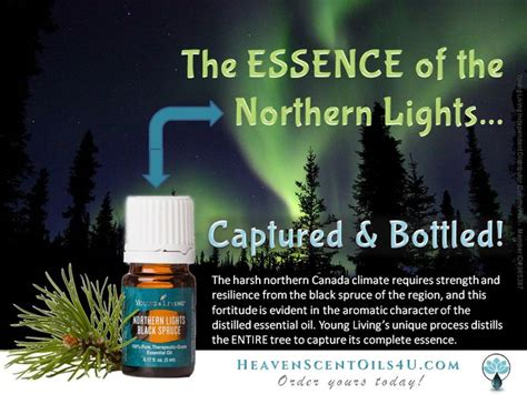 the northern lights tree 17 best images about aceite northern lights black spruce