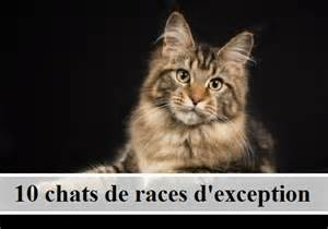 10 chats de races d exception des et des chats