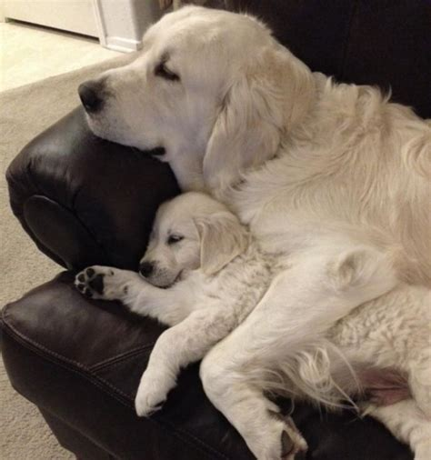 chion golden retriever puppies 25 best ideas about baby golden retrievers on retriever puppies golden