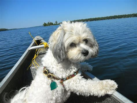 shichon haircuts the gallery for gt teddy bear dogs full grown sale