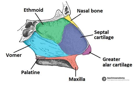 broken nose diagram the nasal skeleton bones cartilage fractures