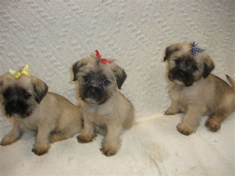 pug x maltese teacup pug puppies for sale