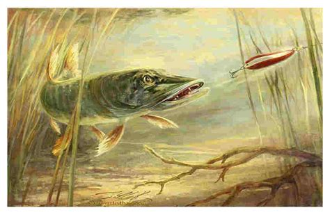 pike colors northern pike painting www imgkid the image kid