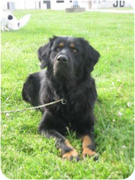 australian setter dog whiskey adopted dog lagrange ky gordon setter