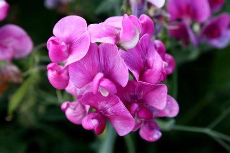 pisello odoroso fiore fiori di primavera fiori in giardino