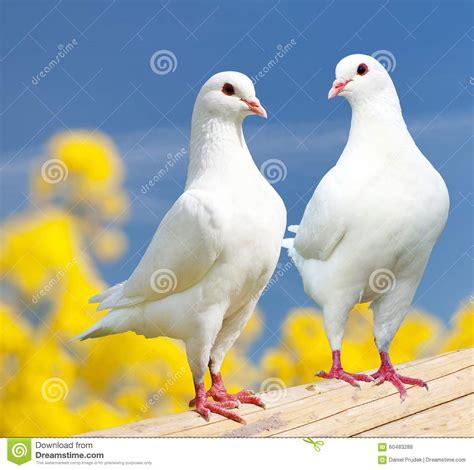 imagenes de palomas blancas gratis dos palomas blancas en perca con el fondo floreciente