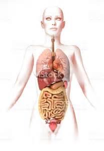 femme avec les organes 224 lint 233 rieur anatomie image