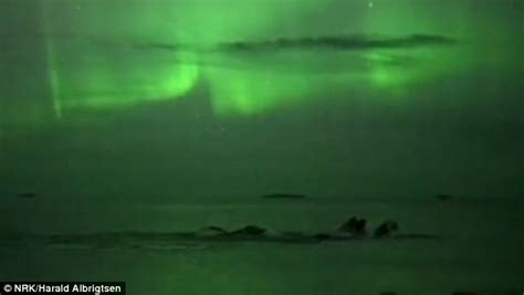 pod of humpback whales swim beneath northern lights