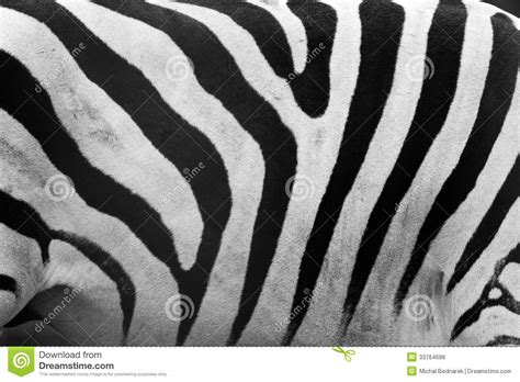 black and white zebra ls animal zebra skin black and white fur stripes stock image
