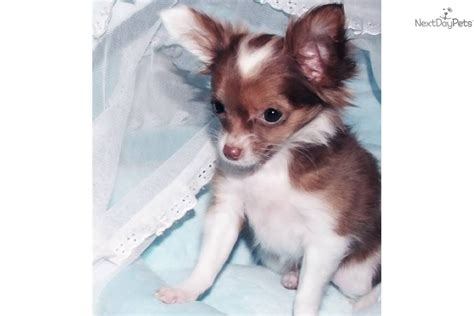 chihuahua puppies near me chihuahua puppy for sale near texoma 3cc8f9af 37d1