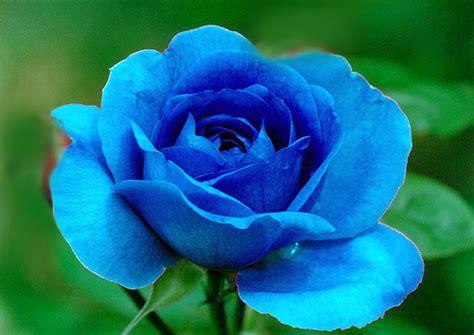 bunga mawar biru tanamanbungacom