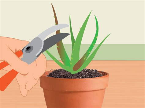 how to revive a dying plant 3 ways to revive a dying aloe vera plant wikihow
