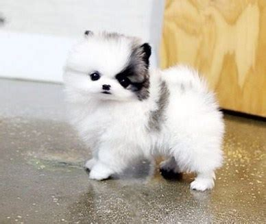 teacup pomeranians for sale in louisiana white teacup pomeranian puppies for sale teacup pomeranian