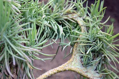 piante grasse da interno piante grasse ricanti piante grasse coltivare