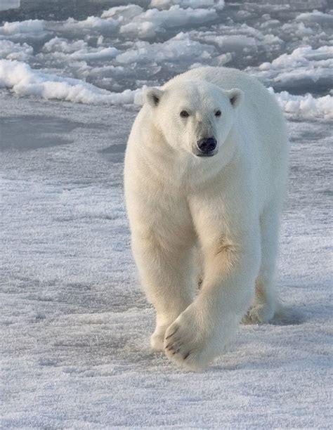 bbbear polar 3528 best polar bears images on polar bears