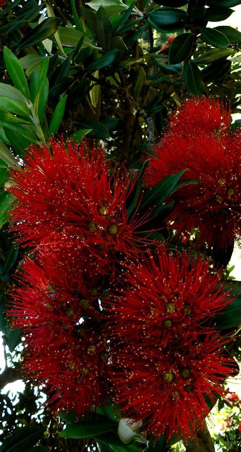 93 best images about pohutukawa new zealand s christmas