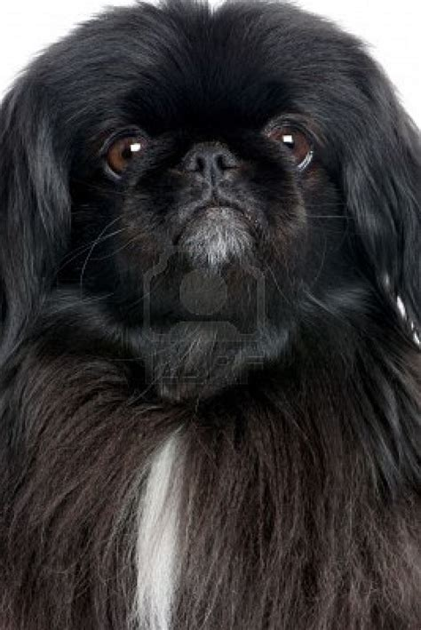 pictures of pekingese dogs white pekingese dogs breeds picture