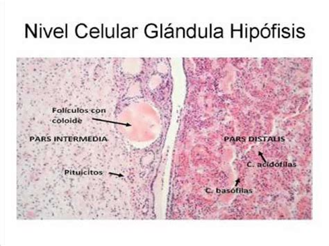 glandula submaxilar anatomia hip 211 fisis control glandular wmv youtube