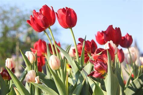 imagenes de flores asombrosas flores asombrosas del tulip 225 n foto de archivo imagen de
