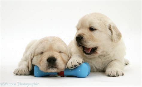 5 week golden retriever dogs sleepy golden retriever pups 5 weeks photo wp13345