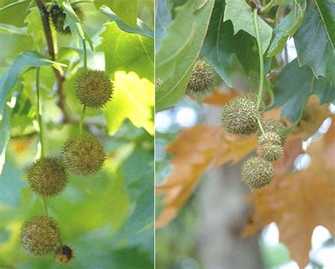 fruit tree nursery oregon planetree oregon state univ landscape plants