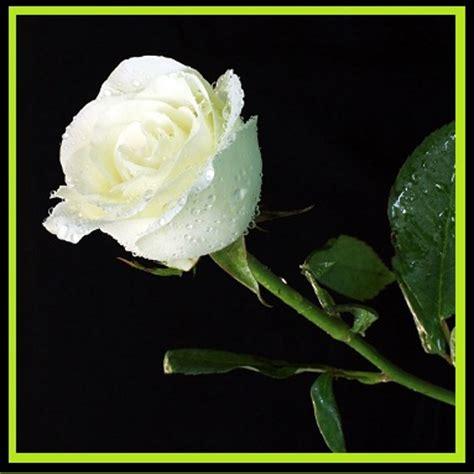 imagenes rosas blancas de luto imagenes de rosas blancas con frases imagen de rosas rojas