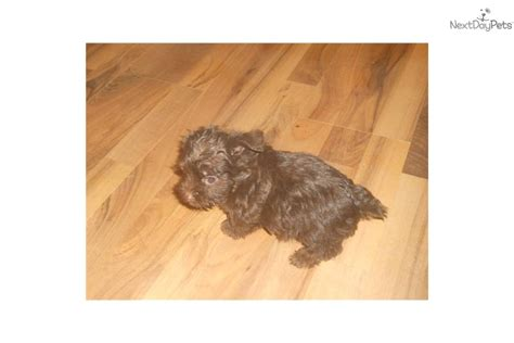 yorkie poo puppies for sale in evansville indiana yorkiepoo yorkie poo puppy for sale near evansville indiana e91e59a1 dc81