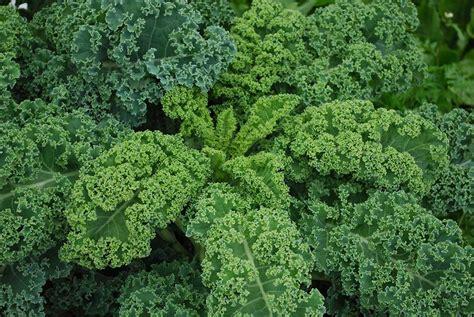 Kale Garden by Growing Kale Bonnie Plants