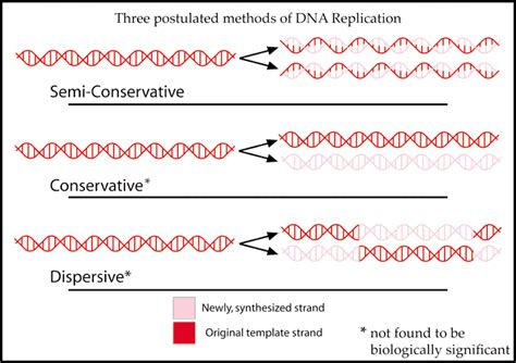 Semiconservative Replication Involves A Template What Is The Template semiconservative replication