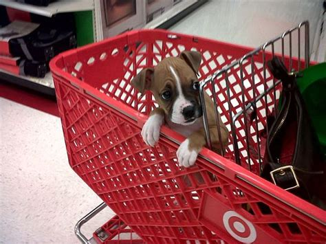 puppy shopping in a shopping cart baby boxer puppy baby animals puppys