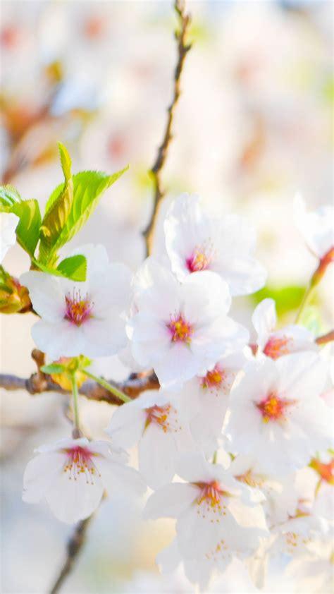 white flower hd wallpaper   mobile phone