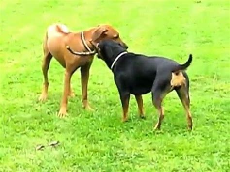 rhodesian ridgeback rottweiler mix pictures rhodesian ridgeback and rottweiler mix puppies funnydog tv