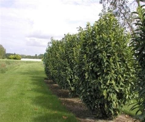 kirschlorbeer caucasica wachstum prunus laurocerasus genolia laurier cerise arbuste