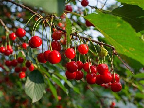 cherry tree species cherry tree varieties lovetoknow