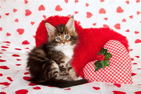 cat valentines we rank the lovability of valentine s day cat photos catster