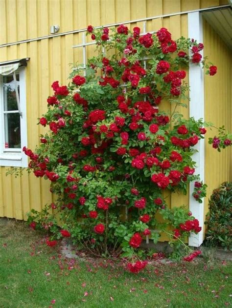 rose trellis plans different styles for making trellis for climbing roses