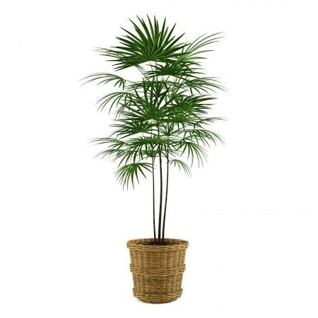 25 best ideas about indoor palm trees on pinterest big