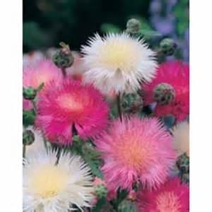 Biji Bunga Sedap Malam jual aneka bibit bunga hias jual bibit bunga murah
