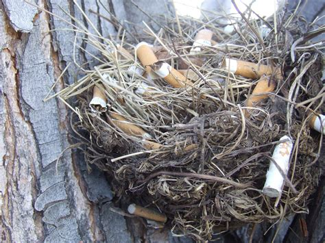 why do these birds build their nests with cigarette butts