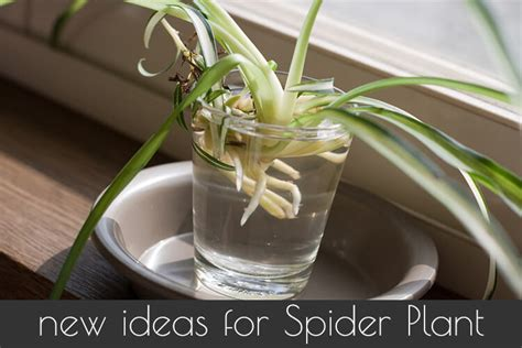 spider plant   grow  care  spider plants