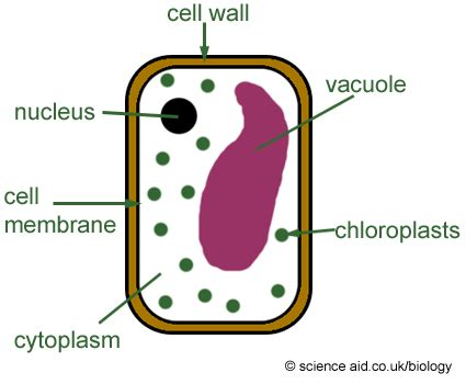 diagram of typical plant cell plant cells scienceaid