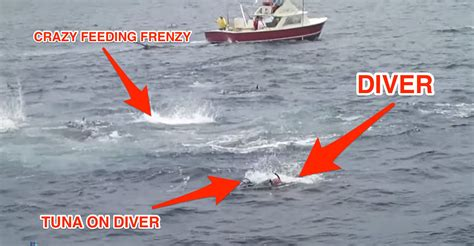video of fishing boat getting run over diver gets quot run over quot by tuna in wild feeding frenzy