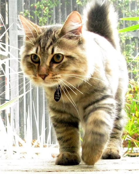 american bobtail kittens  sale cats  adoption sweetie kitty