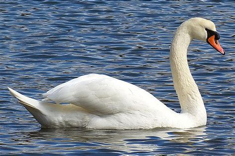 The Mute Swan's Habitat, Migration, and More